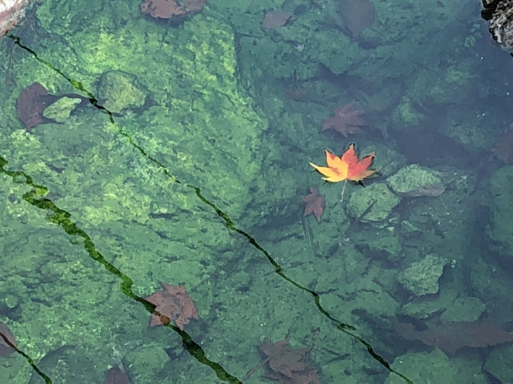 A maple leaf floating in a hot spring.