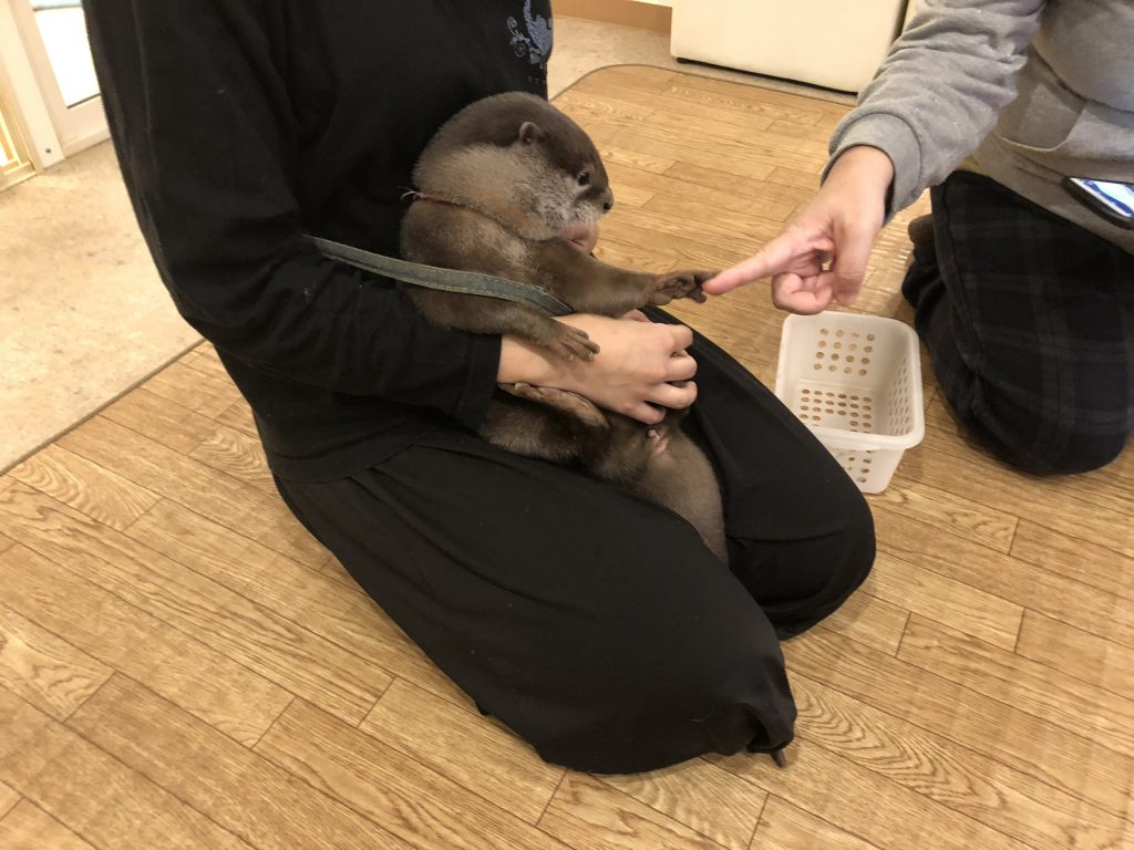 An otter sitting in a caretaker's lap holding the finger of a guest.