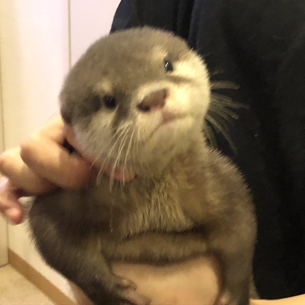 A blurry picture of a baby otter looking at the camera.