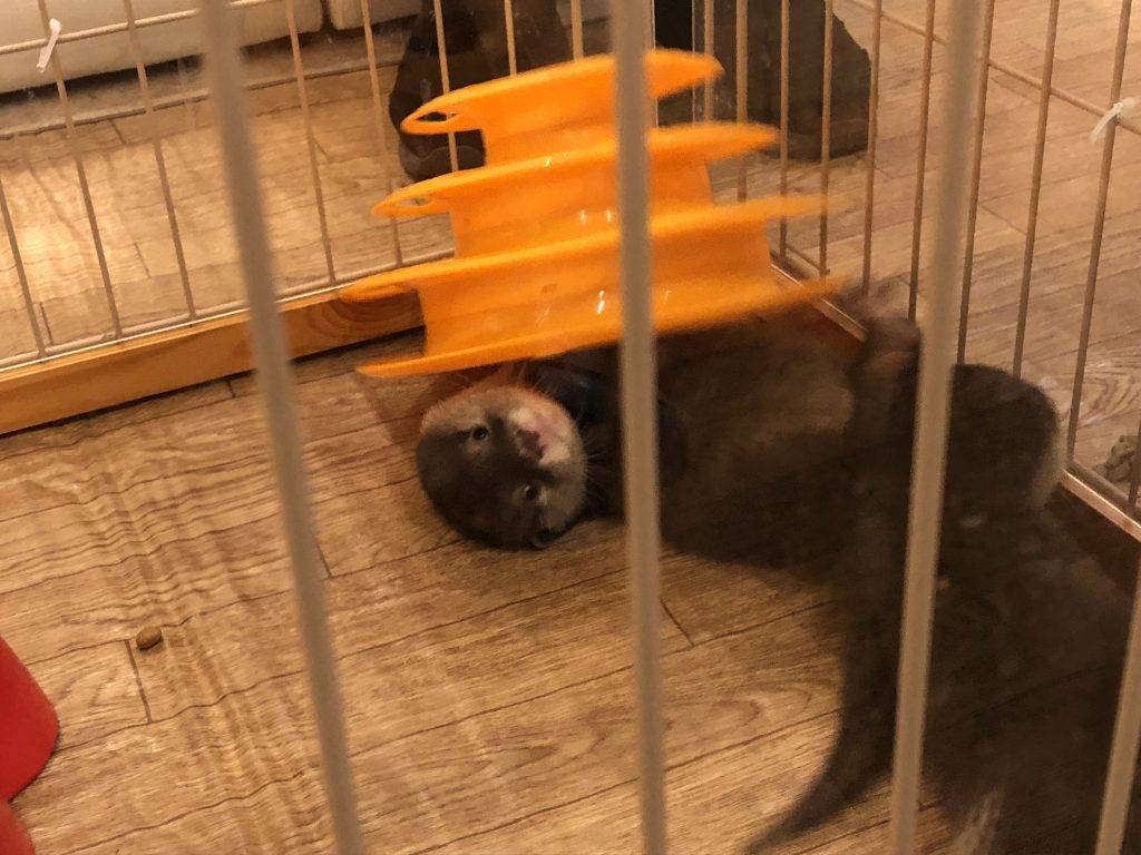 Baby otters playing with cat toys inside a playpen.