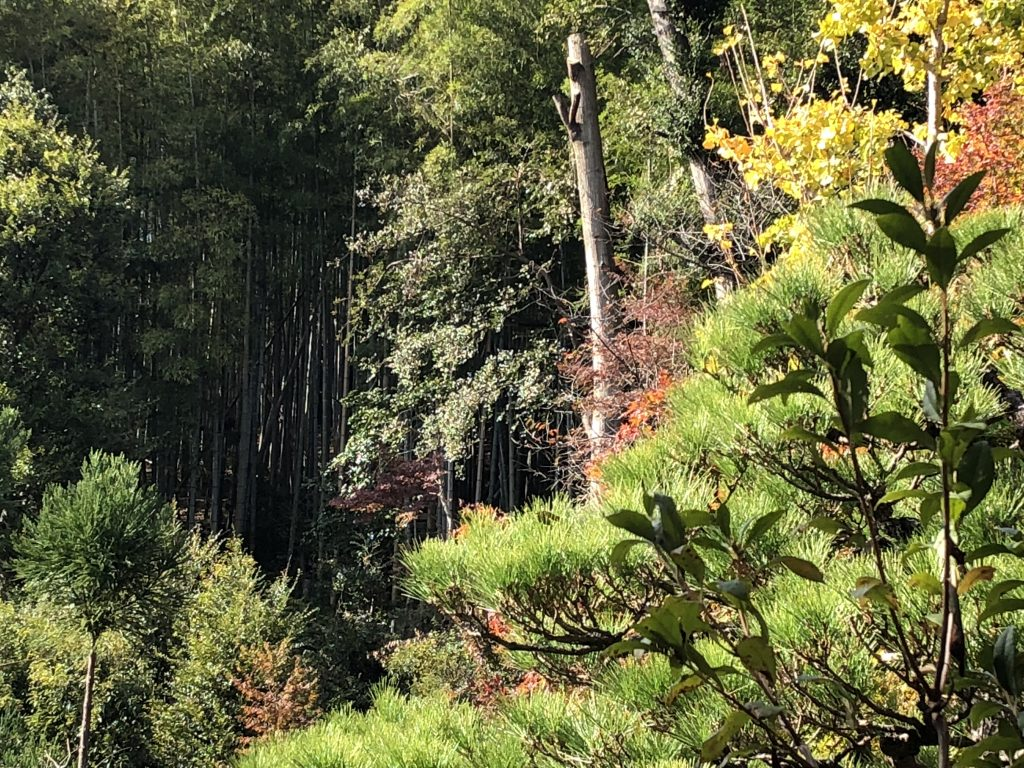 You can see a large bamboo thicket through the trees.