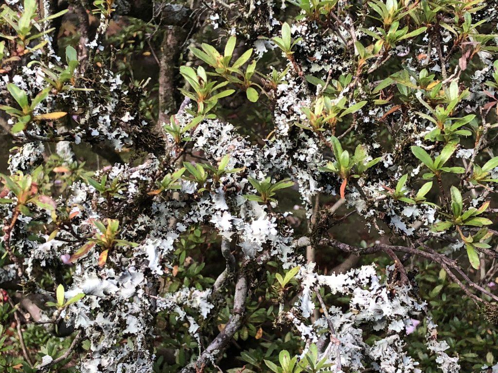 Pale lichen growing over a green bush.