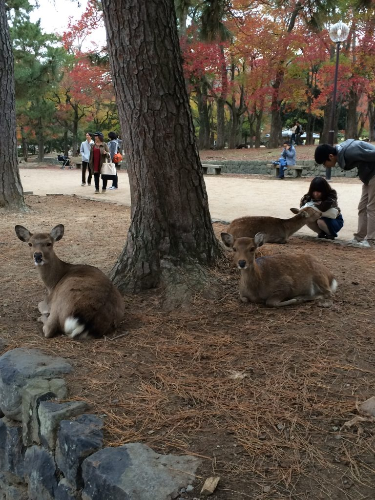 A bunch of deer lying down around a tree, coolly assessing me behind the camera.