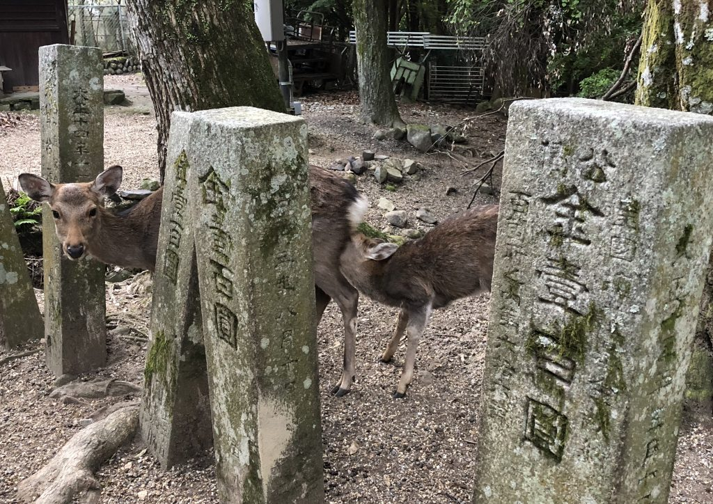 A mother deer and its fawn behind some stone markers. The fawn is nursing.