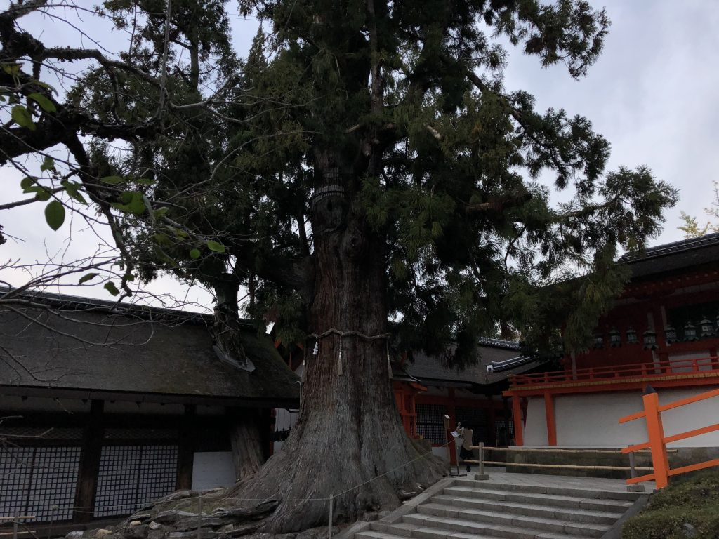 A very old tree with a rope tied around it to denote that it's sacred.